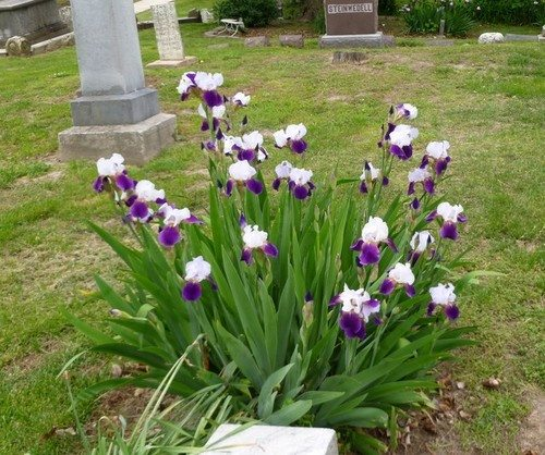 Iris plant at a cemetary