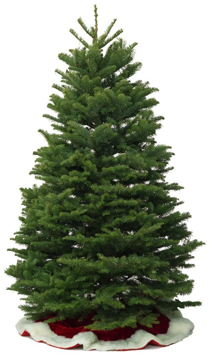 Noble Fir Christmas Tree.Which Kind Of Christmas Tree Is For You Milberger S Nursery