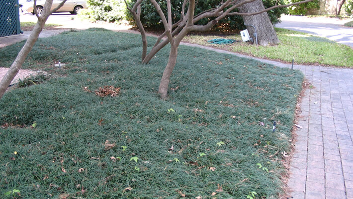 Groundcover Mondo Monkey Grass